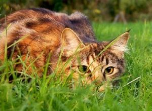 800px-Catstalkprey